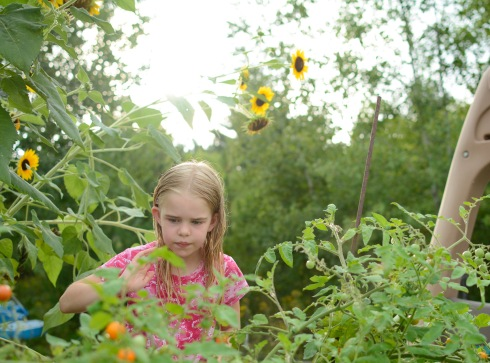 Documentary photograph of girl picking tomatoes in garden in Glenville NY