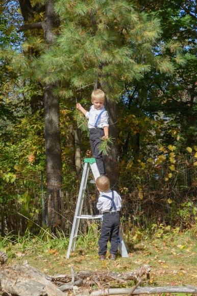 Boy on ladder picking pine needles